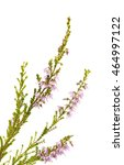 calluna vulgaris   common... | Shutterstock . vector #464997122