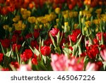 close up beautiful red tulips... | Shutterstock . vector #465067226