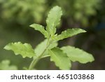 sweet basil  herbal and spice... | Shutterstock . vector #465103868
