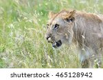 portrait of a young lion in the ... | Shutterstock . vector #465128942