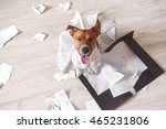 Stock photo bad dog sitting on the torn pieces of important documents naughty pets at home bad puppy waiting 465231806