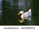 Lonely White Duck Floats In A...