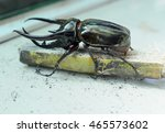 Giant Rhinoceros Beetle ...