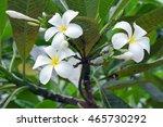 plumeria flowers on the tree ... | Shutterstock . vector #465730292