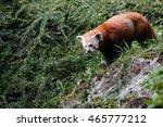 Small photo of Red Panda Bear ( Ailurus fulgens fulgens ) walking along