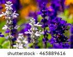 Small photo of Purple Ajuga Flower