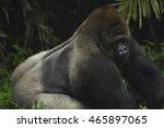 western lowland gorilla rising | Shutterstock . vector #465897065