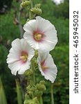 Small photo of Three blooms of white hollyhock (Alcea rosea) with a pink centre on a single stem. Background of blurred plants.