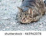 Stock photo brown cat hunting 465962078