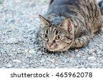 Stock photo brown cat hunting 465962078