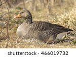 Greylag Goose. It Is Present I...