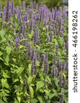 Small photo of Image of giant Anise hyssop (Agastache foeniculum) in a summer garden.