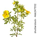 Shrubby Cinquefoil Blooming  ...