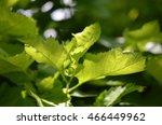 leaves on the sun | Shutterstock . vector #466449962