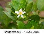 Flower Of Bergamot Fruits On...