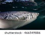 A Blue Shark  Prionace Glauca ...