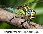Hairy Dragonfly  Brachytron...