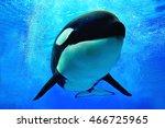 killer whale swimming... | Shutterstock . vector #466725965