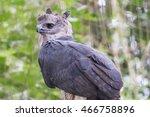 The Majestic Eagle Harpy  Bird...