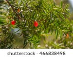 Taxus Baccata. Branch With...