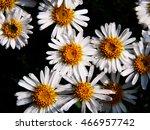 alpine aster   aster alpinus  ... | Shutterstock . vector #466957742