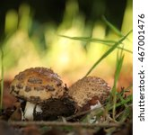 Small photo of Mushroom Amanita Rubescens