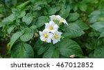 Potato Flowers Among Leaves