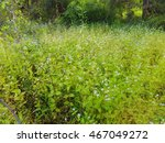 Small photo of Blooming violet Goat Weed flower field in the forest(Ageratum conyzoides Linn.),Thailand