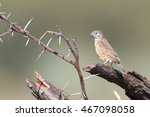 cut throat finch sitting on... | Shutterstock . vector #467098058