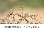 cut throat finch sitting on... | Shutterstock . vector #467121512
