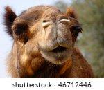 Arabian Camel Face Close Up