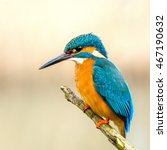 common king fisher holland... | Shutterstock . vector #467190632