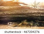 meerkat take a rest under pile... | Shutterstock . vector #467204276