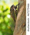 The Cicada  Cryptotympana...
