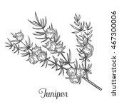 Juniper Branch With Berries....