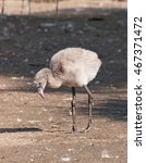 Small photo of Young american flamingo - Phoenicopterus ruber
