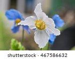 Himalayan Poppy  Tibetan Poppy...
