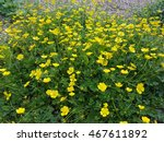 Small photo of Ranunculus, acris