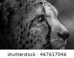Right Side Of Cheeta's Face...