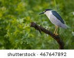 Black Crowned Night Heron In...