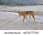 female Dingo at the East beach on Fraser Island, Queensland Australia