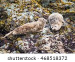 Spotted Adult Harbor Seals...