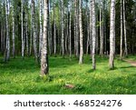 Beautiful Birch Grove. Amazing...