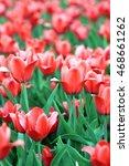 red tulip at spring | Shutterstock . vector #468661262