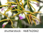 "Small photo of ""The Brassavola-Like Panarica"" orchid flower in St. Gallen, Switzerland. Encyclia Brassavolae (Syn Prosthechea Brassavolae, Panarica Brassavolae, Epidendrum Brassavolae) is native to central America."