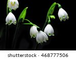 Glowing Snowdrop Flowers...
