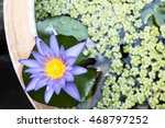 A Beautiful Purple Lotus Flowe...