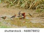 Small photo of Bird,Red Avadavat : Amandava amandava