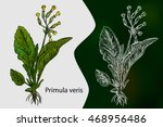 Primula Veris. Vector