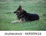 german shepherd dog lying on... | Shutterstock . vector #469009616